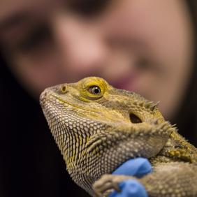 A bearded lizard in the forefront with a college-age female student in the background