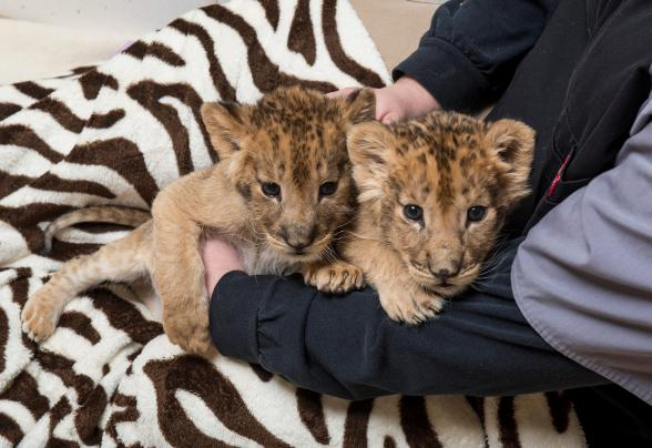 Dr Keiffer Holding Lion Cub Brothers