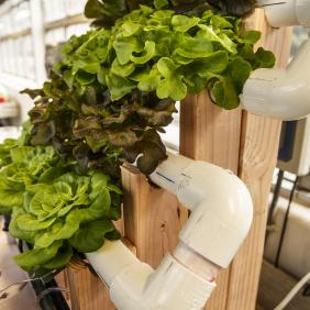 Lettuce growing in an aquaponics setting
