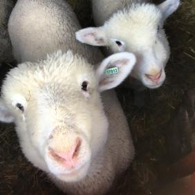 A close-up photo of two sheep.