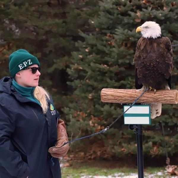 A female stedent holding the leash of a bald eagle which is atop it's perch.