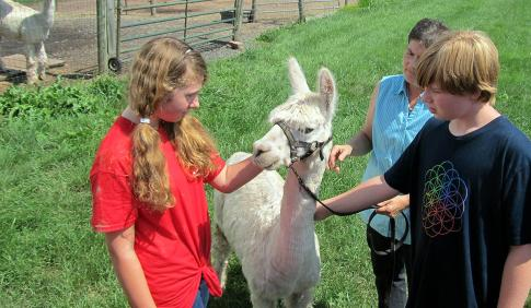 Youth students working with an alpaca