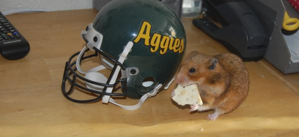 A hamster chews on a cracker on a student's desk in front of a helmet that reads Aggies.